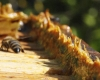 Pszczeli kit ma lecznicze właściwości